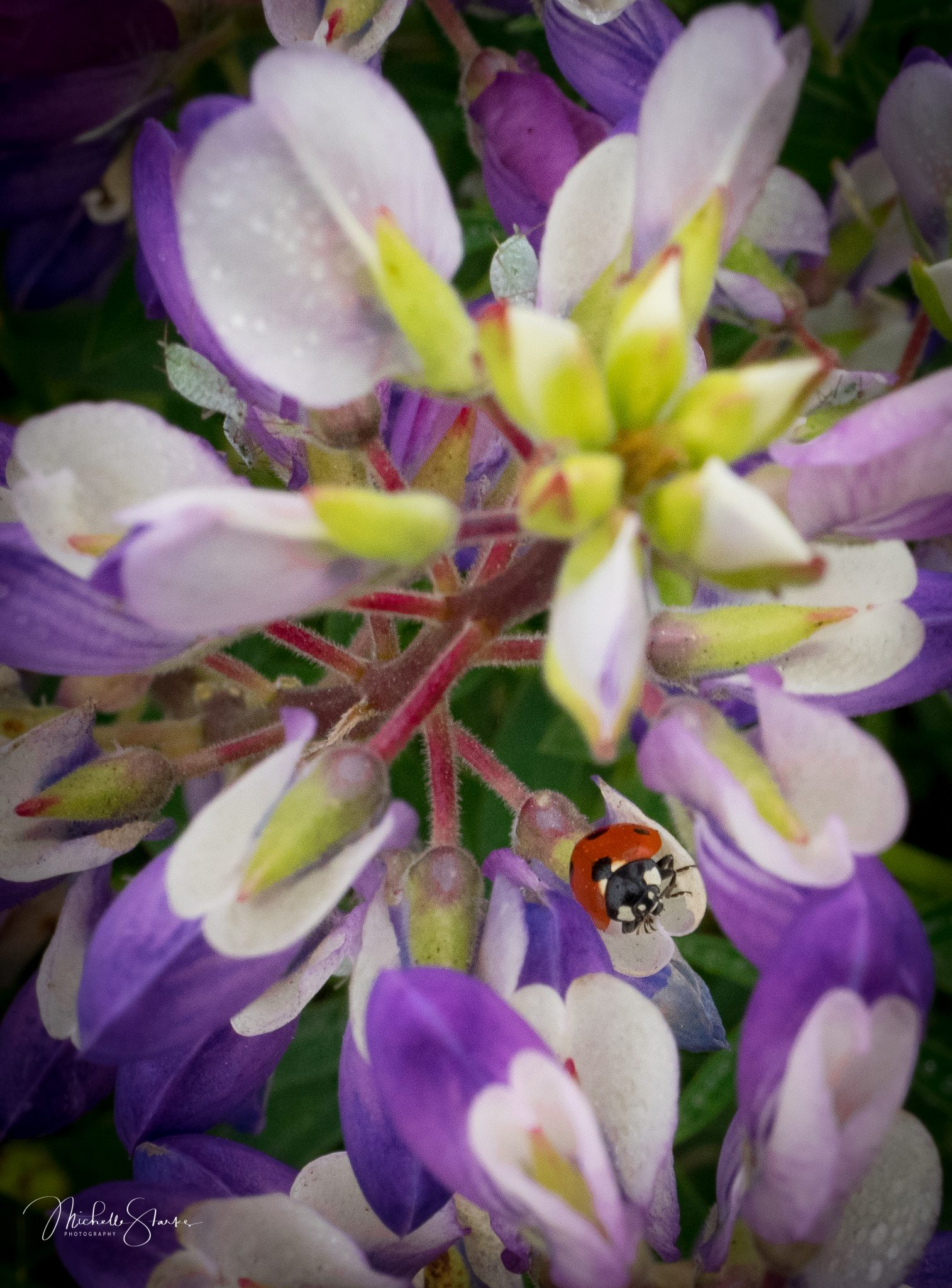 Ladybug in Lupin, Oregon