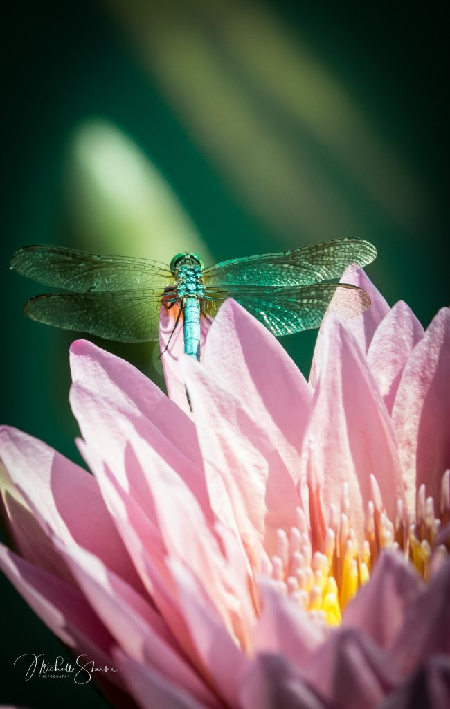 Dragonfly on Lotus, NY Botanical Garden