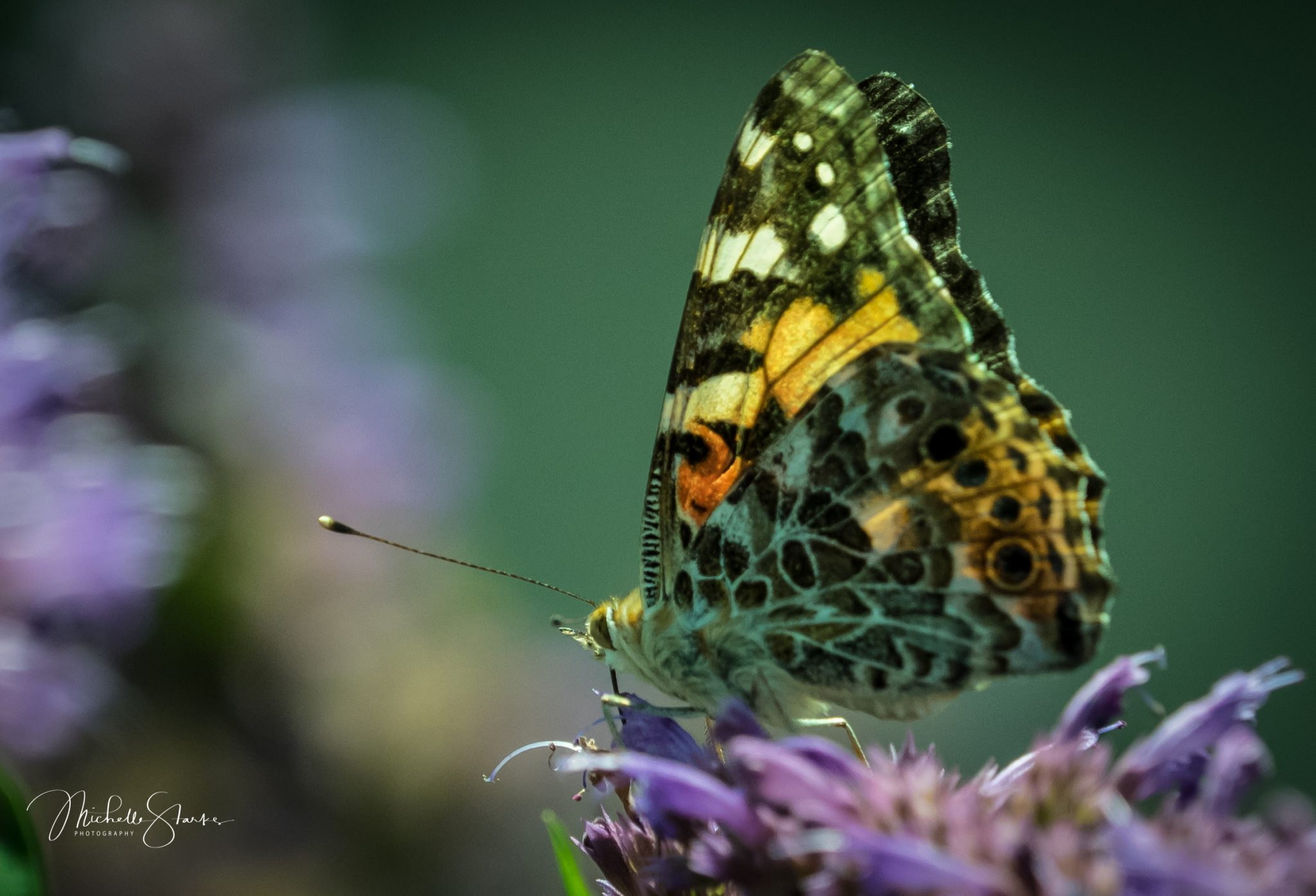 Painted Lady, NY Botanical Garden