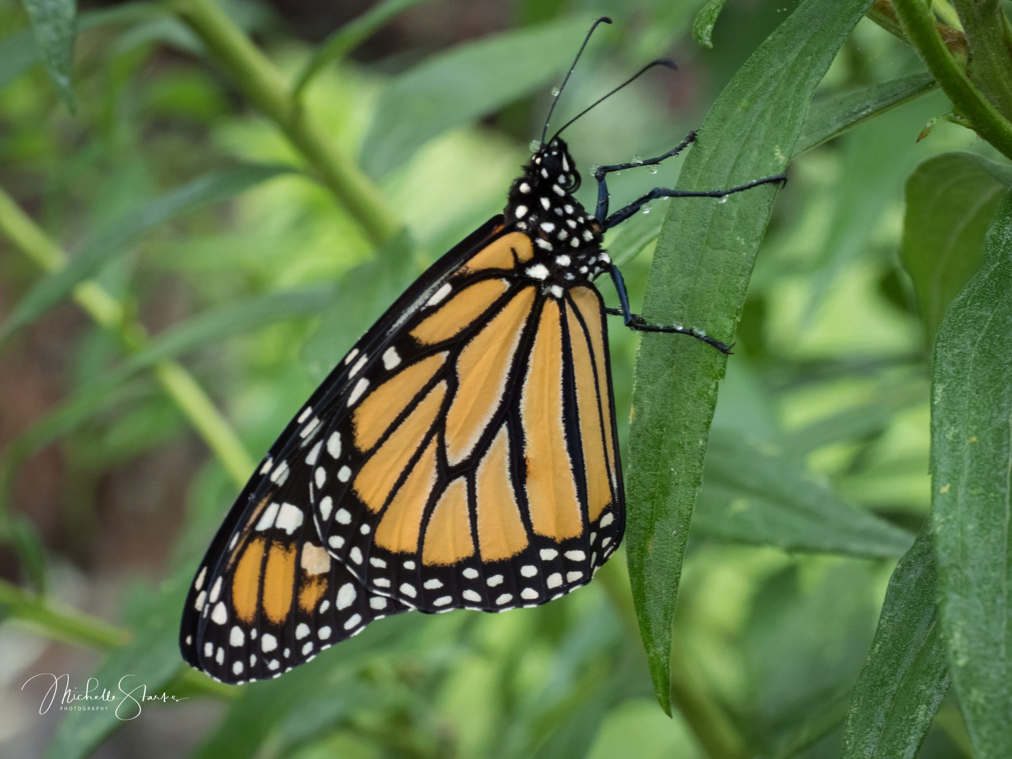 Monarch Butterfly, Princeton, NJ