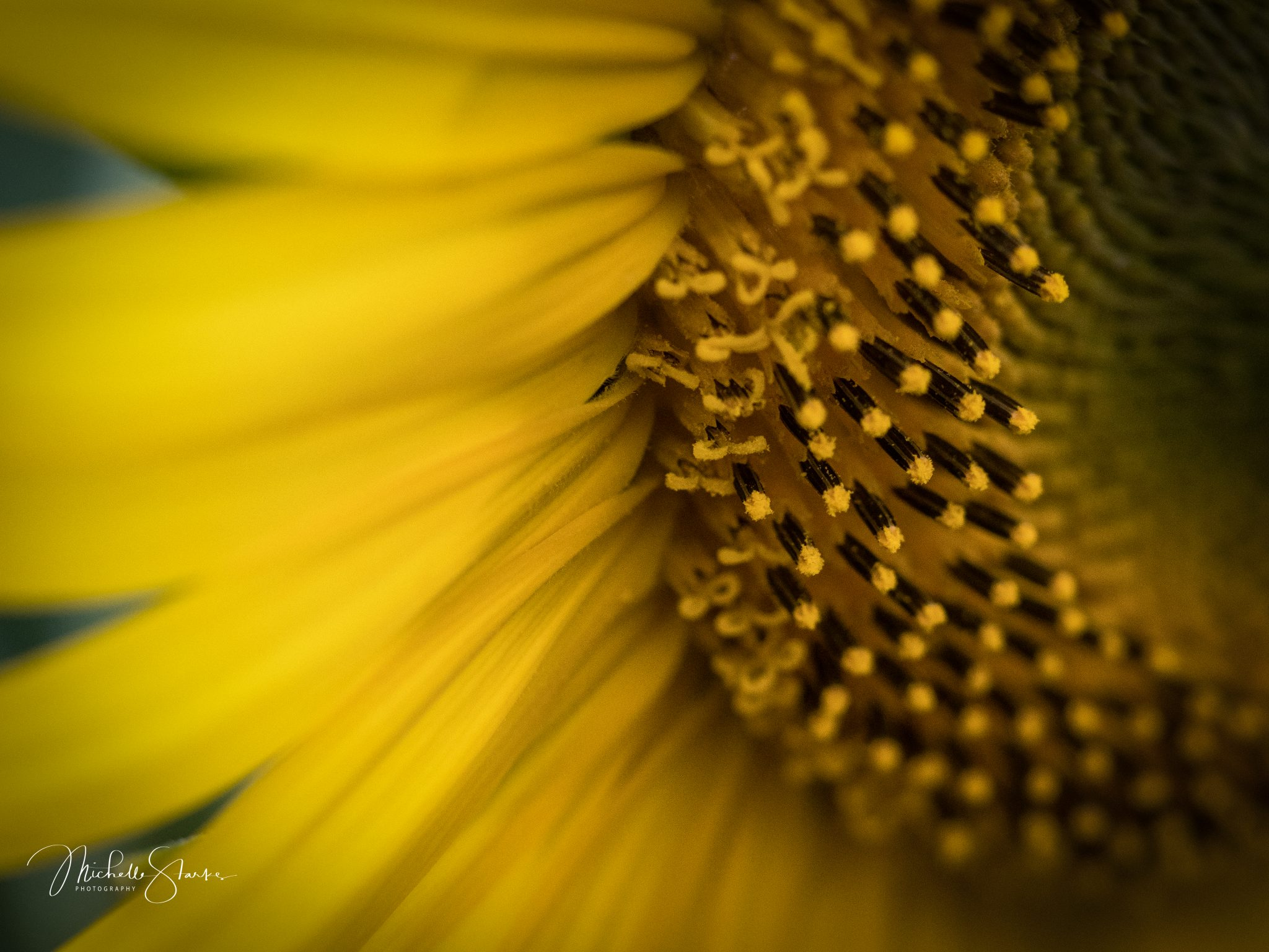 Sunflower, Hackettstown, NJ