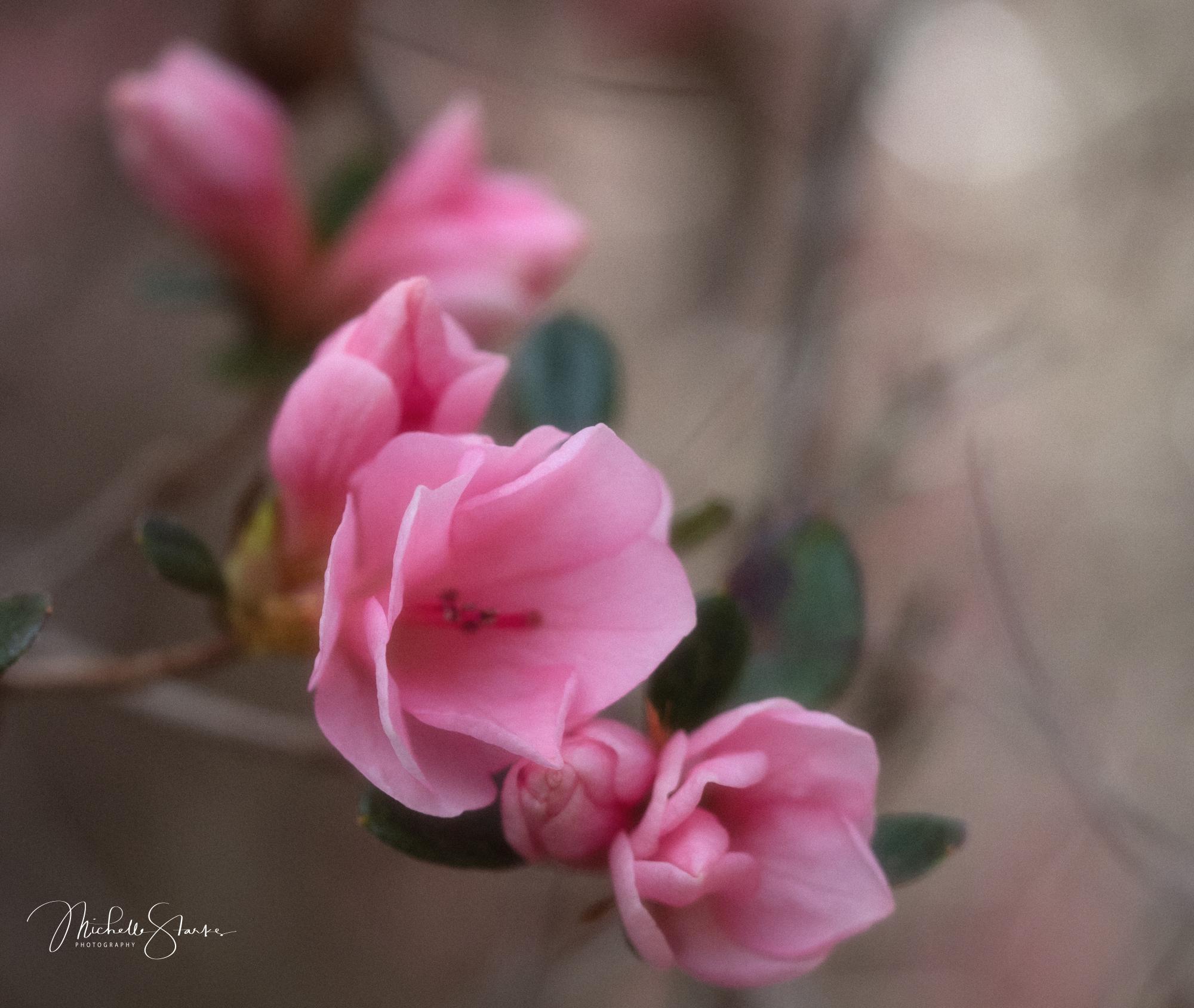 Spring Azaleas, St. Simmons Island, Georgia