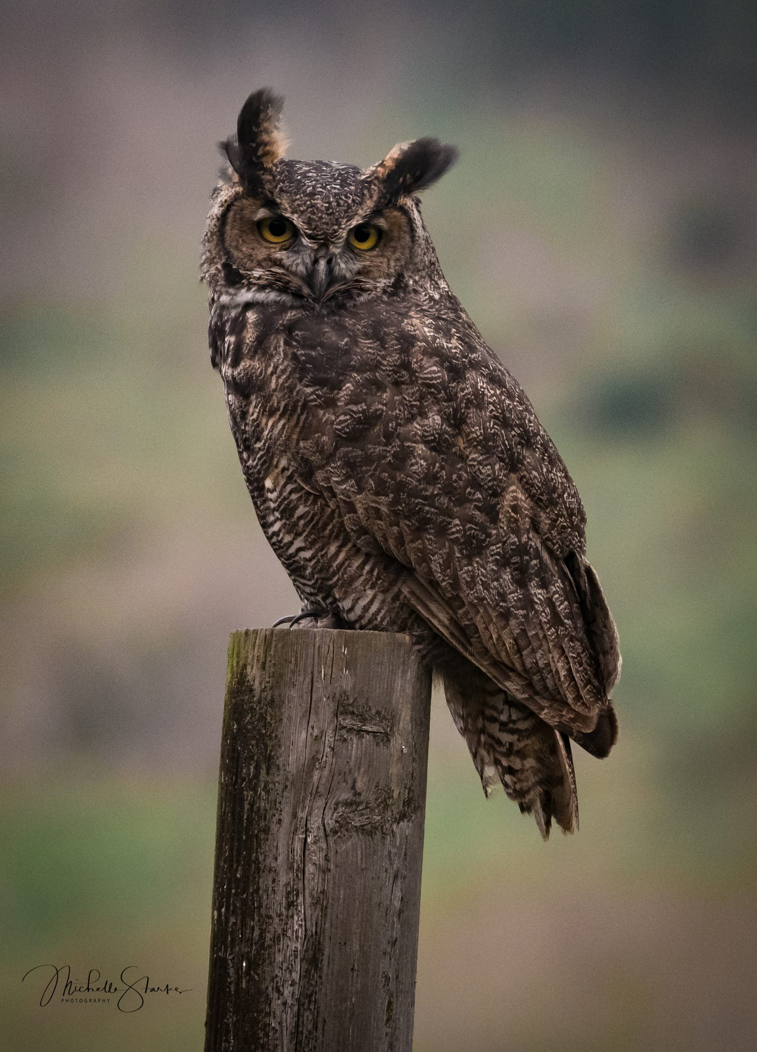 Great Horned Owl, Port Reyes, CA