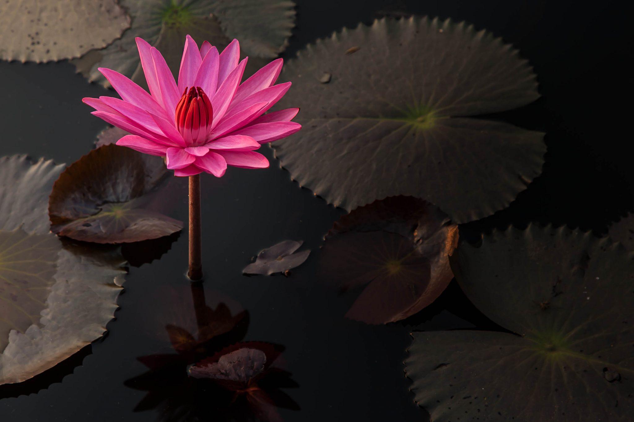 Lotus Flower, Angkor Wat, Cambodia