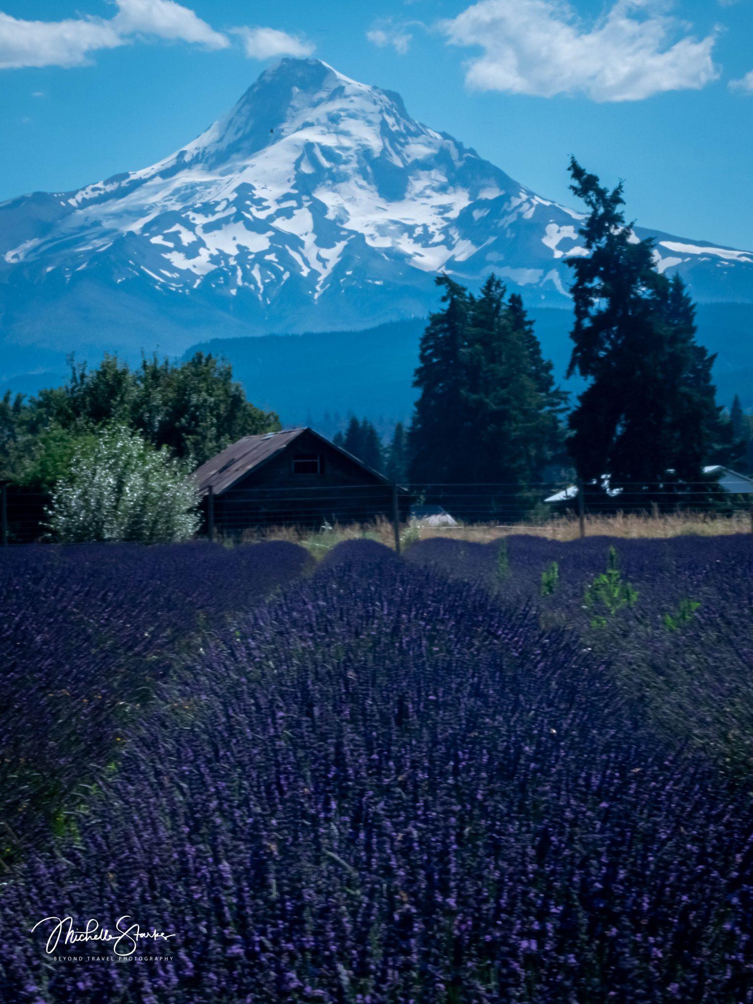 Lavender Farm near Mt. Hood, OR 7/19/20