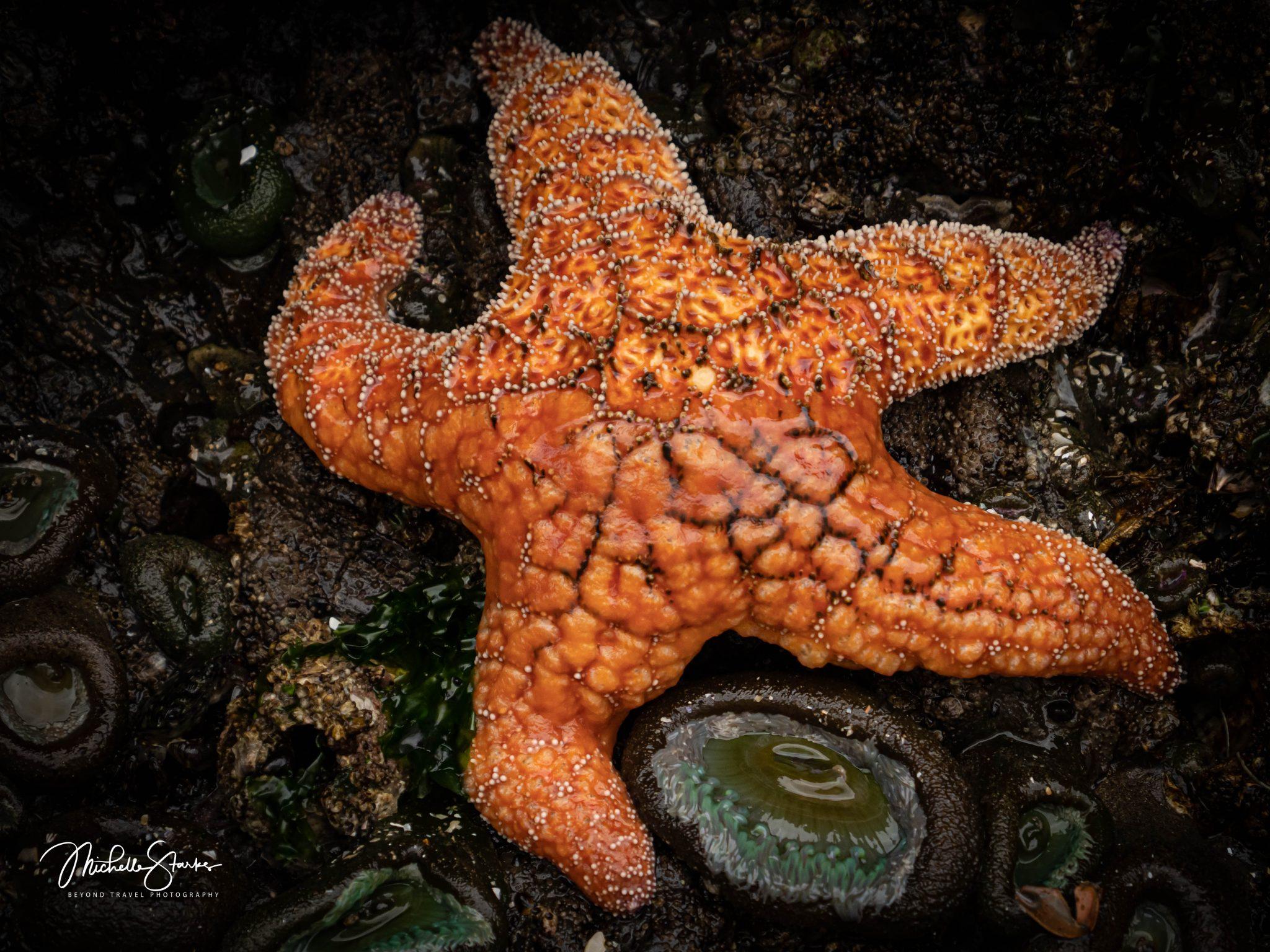 Sea Star, Cannon Beach, OR 7/24/20